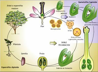 Reproduccion de las plantas asexual ysexual