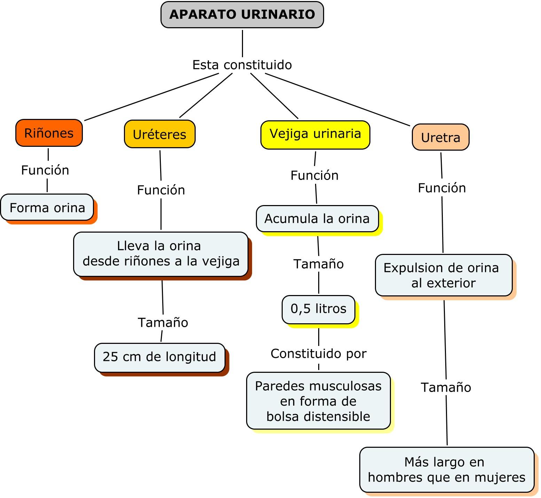 Moderno El Diagrama Del Sistema Urinario Bandera - Anatomía de Las ...