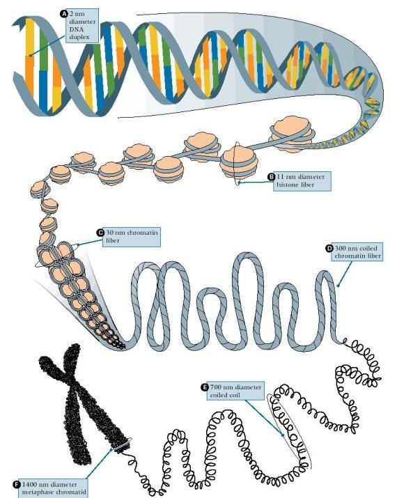 Kromosometan DNA histonen inguruan biltzen da, eta DNA irakurri eta transkribatzeko, beharrezkoa da zati batzuk egitura trinko horretatik askatzea.