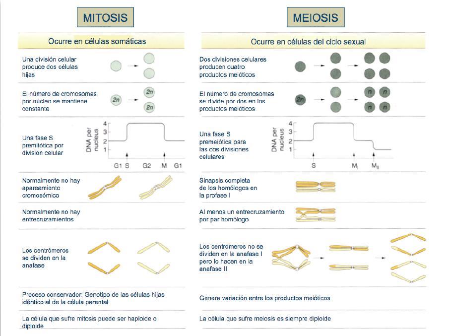 meiosis vs mitosis. COMPARACIÓN MITOSIS vs MEIOSIS