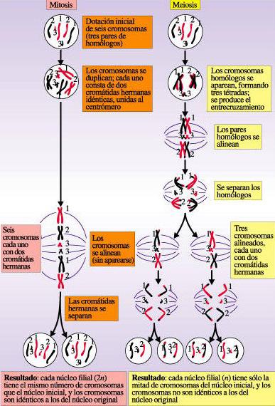 COMPARACIÓN MITOSIS vs MEIOSIS