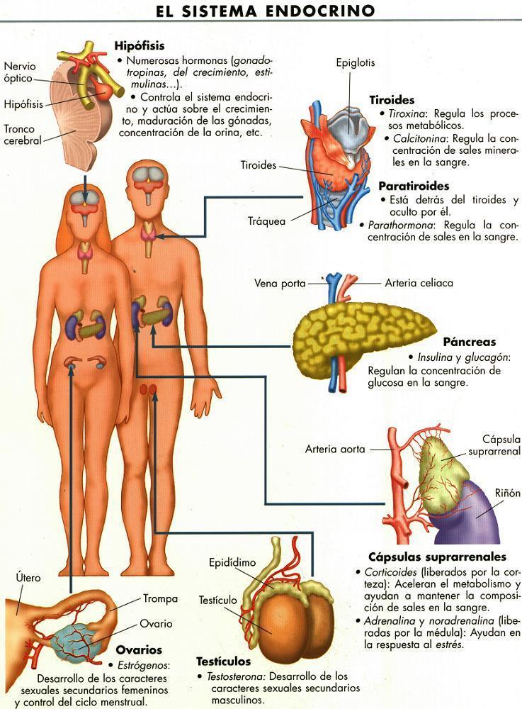 2 2 sistema endocrino gl ndulas hormonas e impacto for Areas de cocina y sus funciones